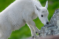 Young Mountain Goat (Oreamnos americanus) kid.  Glacier National Park, Montana.  Summer.