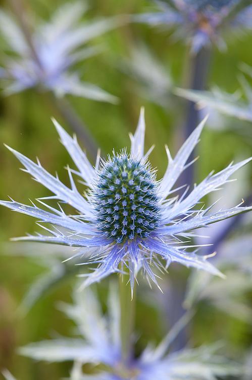 Eryngium x zabelii 'Jos Eijking', early July.