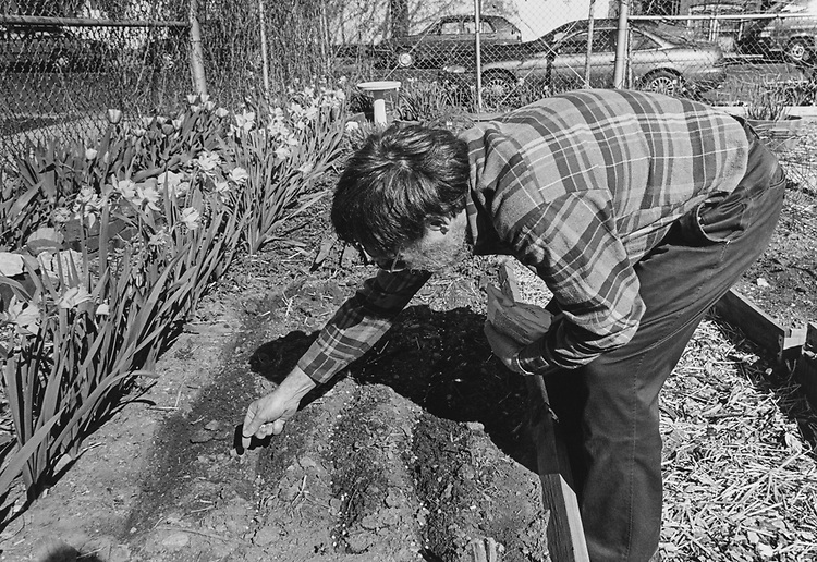 Ken Lepoer plants snow peas on the Capitol Hill Community Garden on 6th Street South East in April 1997. (Photo by Laura Patterson/CQ Roll Call via Getty Images)
