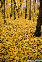 Maple tree forest with a carpet of maple seedlings on the forest floor.