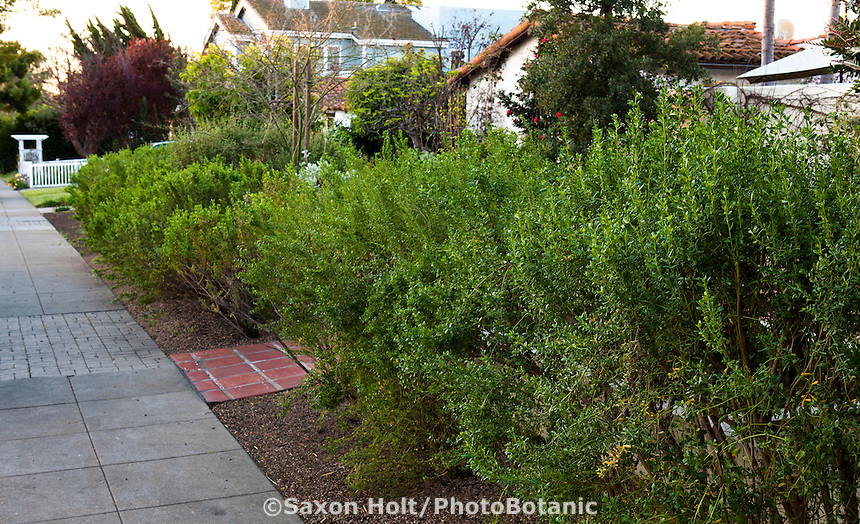 Southern California front yard native plant garden with Coyote Bush (Baccharis pilularis) hedge by sidewalk