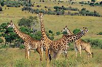 Masai Giraffes (Giraffa camelopardalis).  Serengeti National Park, Tanzania.
