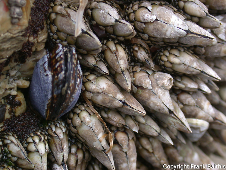 mussel and barnacles