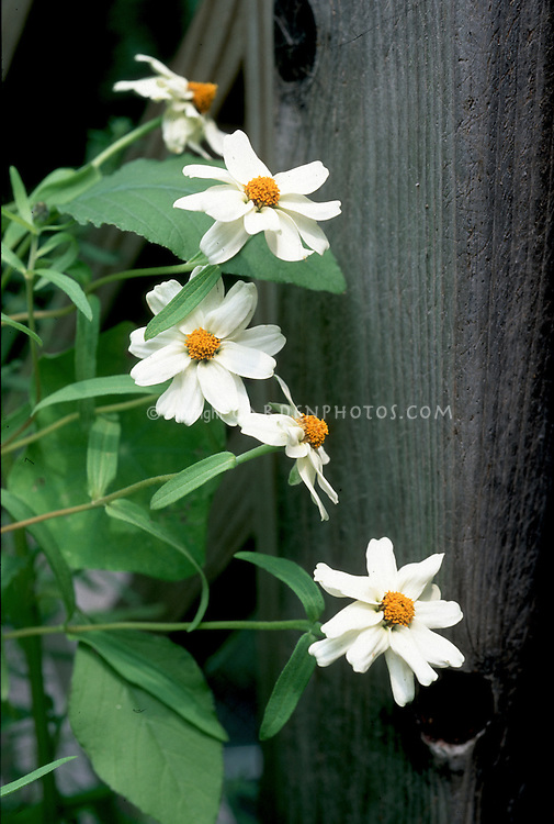 Zinnia angustifolia 'Star Series White' narrowleaf zinnia annual flower