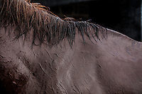 A horse wet and sweaty after running in the morning at Ngong Racecourse in Nairobi, Kenya. March 17, 2013 Photo: Brendan Bannon
