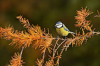Blue Tit (Parus caeruleus), adult perched on autumn branch of European Larch (Larix decidua), Oberaegeri, Switzerland, Europe