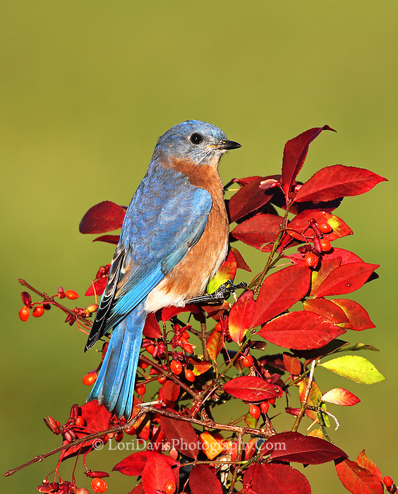 Male Bluebird on autumn burning busheastern bluebird, male bluebird, burning bush, red berries, autumn foliage, red leaves, Sialia sialis, print, photograph, photo, giclee, fine art, picture