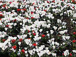 Lots of tulips and crocos in a park close to Sture Plan in Stockholm,Sweden