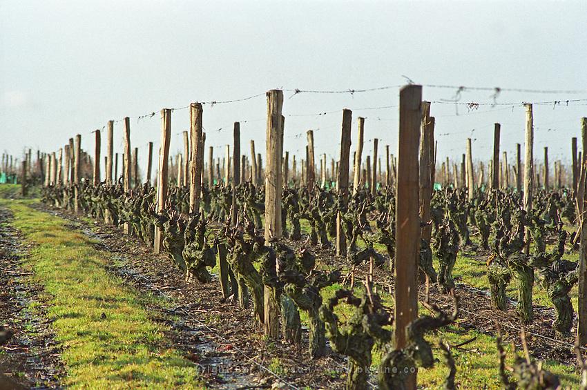 Guyot pruned vines in the vineyard at Petit Bonnezeaux. Coteaux du Layon, Anjou, Loire, France