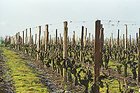 Guyot pruned vines in the vineyard at Petit Bonnezeaux. Coteaux du Layon, Anjou, Loire, France