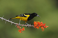 Scott's Oriole (Icterus parisorum), male feeding on blooming Ocotillo (Fouquieria splendens), Chisos Basin, Chisos Mountains, Big Bend National Park, Chihuahuan Desert, West Texas, USA
