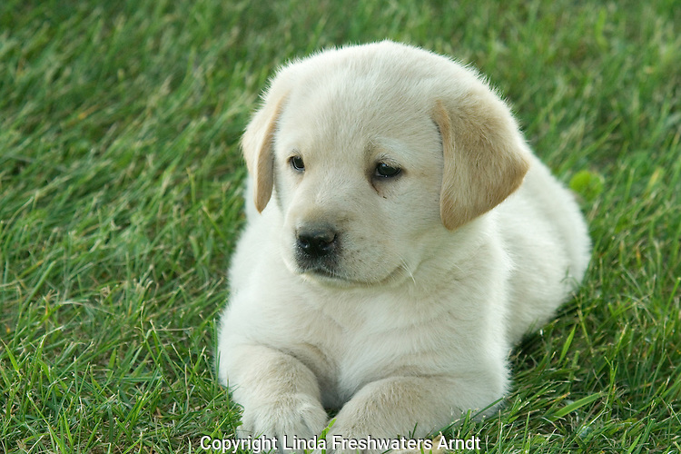 Yellow Labrador retriever (AKC) lying in the grass