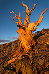 Bare bristlecone pine trunk in the ancient forest in the White Mountains of Inyo County, Calif.