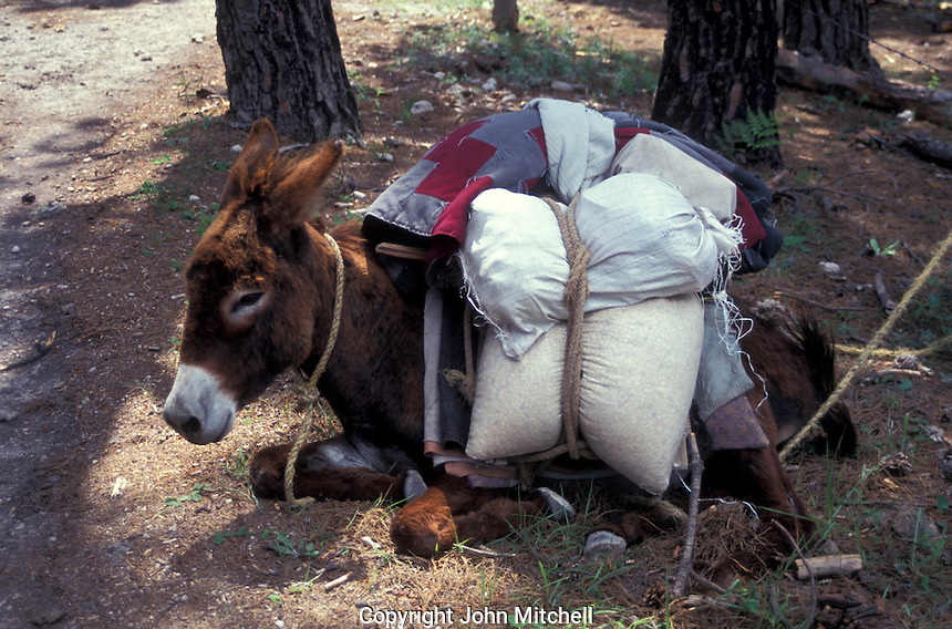 Loaded burro taking a siesta, Copper Canyon, Chihuahua, Mexico