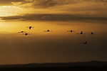 Silhouettes of Flamingos (Phoenicopteridae) flying at sunset in a colourful sky.