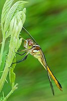 389260003 a female yellow-sided skimmer libellula flavida a large odonate perches on a small plant in the san jacinto national forest in east texas