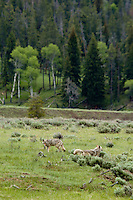 Wild Coyotes (Canis latrans).  Western U.S., June.  Note: One coyote is marking territory.