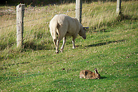 Sylt, Germany. Rantumbecken. Heidschnucken (sheep) and rabbits.