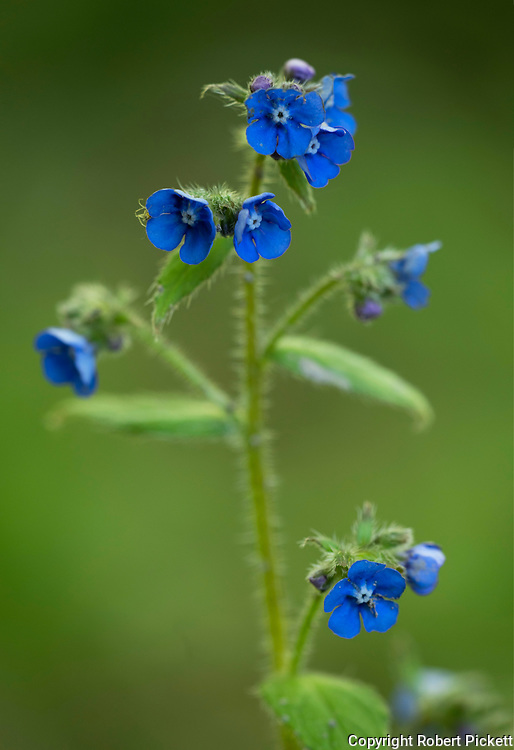 Green alkanet, Pentaglottis sempervirens, Bonsai Bank, Denge Woods, Kent UK, member of the forget-me-not family, Boraginaceae