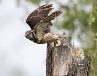 A male Northern Hawk Owl leaves the nest cavity at top of a broken tree.