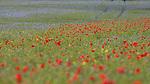 Chidden Poppies