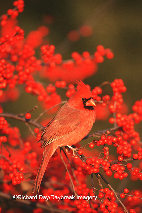 01530-178.19 Northern Cardinal (Cardinalis cardinalis) male in Common Winterberry (Ilex verticillata) Marion Co. IL