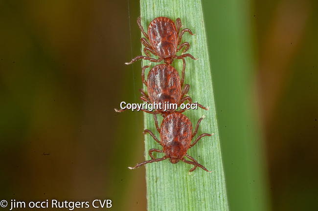 questing Asian longhorned ticks from Bergen County, Haemaphysalis longicornis