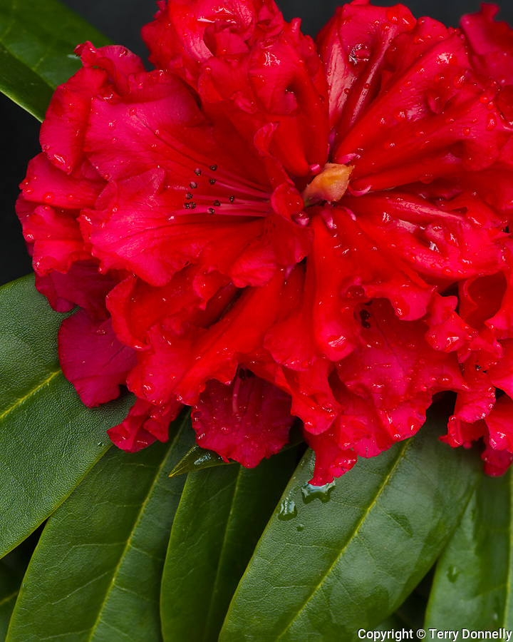 Vashon, WA<br /> Rhododendron 'Grace Seabrook' , red blossom detail