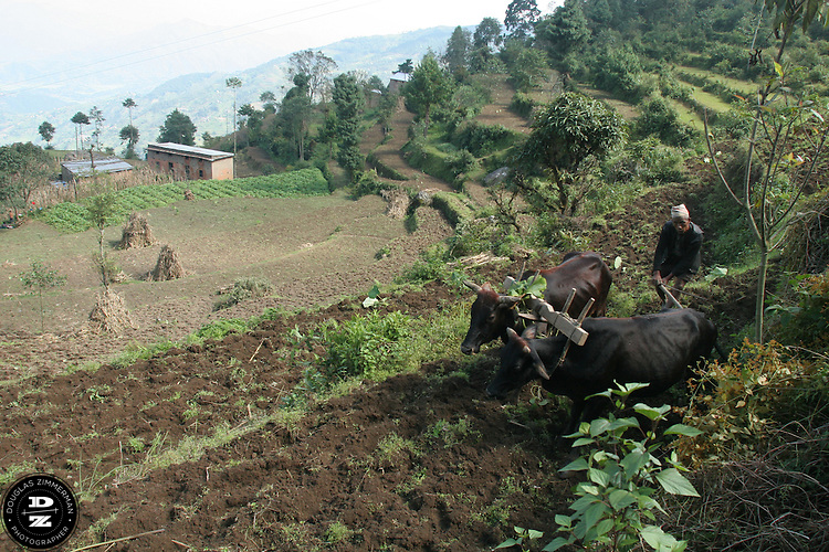A farmer uses oxen to clear a plot of farmland along a hillside in a farming village near the town of Nagarkot, Nepal.  Photograph by Douglas Zimmerman