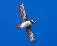Horned puffin (Fratercula corniculata) in flight with a mouthful of fish at Ninagiak Island, Alaska