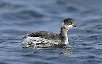 Black-necked Grebe Podiceps nigricollis L 28-34cm. Buoyant waterbird with uptilted bill, steep forehead and beady red eye. White patch on trailing edge of wing seen in flight. Sexes are similar. Adult in summer has blackish head, neck and back, with golden-yellow tufts on face. Flanks are chestnut. In winter, has mainly blackish upperparts and white underparts; told from similar Slavonian by head shape and greater extent of black on cheeks. Juvenile is similar to winter adult but grubby-looking. Voice Mostly silent. Status Scarce winter visitor to sheltered coasts; occasional on inland reservoirs. A few pairs nest on shallow, well-vegetated lakes.