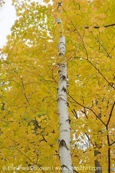 A Birch tree surrounded by autumn colors