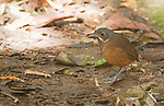 Moustached antpitta, Grallaria alleni, at Refugio Paz de las Aves, Ecuador. Listed as Vulnerable on the IUCN Red List of Threatened Species.