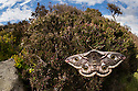 Emperor moth female {Saturnia pavonia}, wide angle view showing heather moorland habitat. Peak District National Park, UK. April.