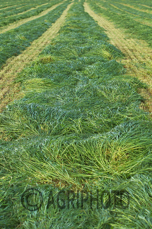 Grass cut for silage<br /> Picture Tim Scrivener 07850 303986