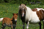 Bob, ANIMALS, REALISTISCHE TIERE, ANIMALES REALISTICOS, horses, photos+++++,GBLA3944,#a#, EVERYDAY