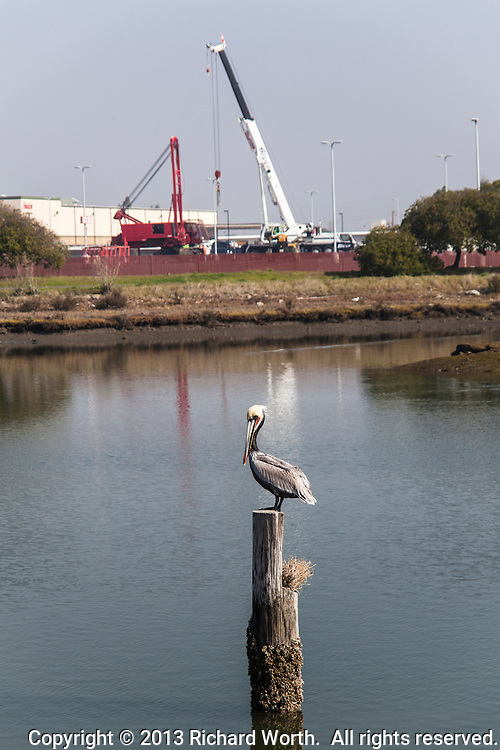 A Brown pelican stands on a piling in San Leandro Bay with construction cranes in the background.