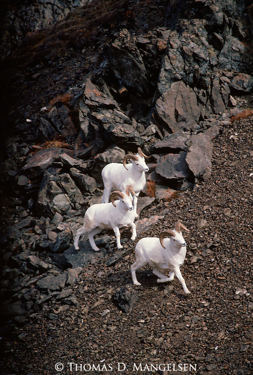 Three Dall Sheep in Denali National Park, Alaska.