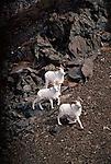 Three Dall Sheep in Denali National Park, Alaska.