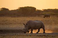 White rhinos kicking up dust at sunset.