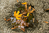 USA, Oregon, Ashland, detail of Fall leaves on a rock by the Lithia River, Lithia Park