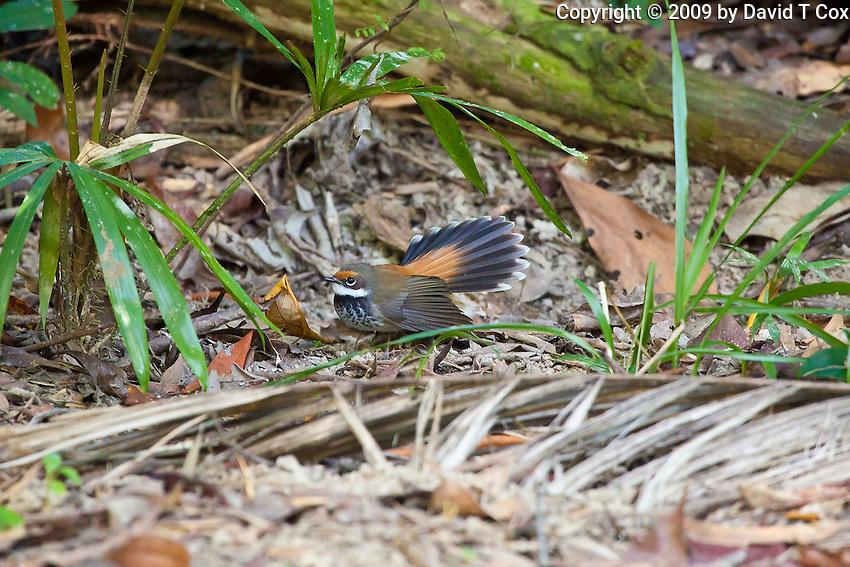 Rufous Fantail, Lacey Creek, Queensland, Australia