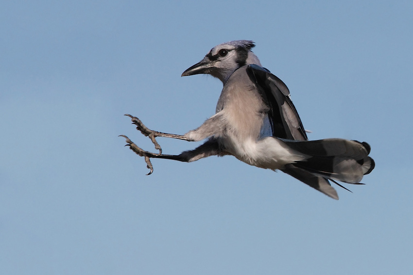 This Blue Jay looks like he's sliding into second base to me.