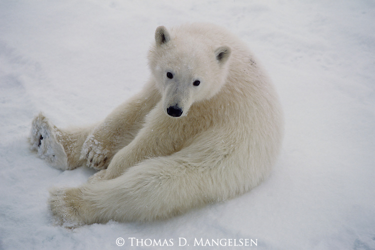 A polar bear cub sits relaxed in the snow in Hudson Bay, Manitoba, Canada.