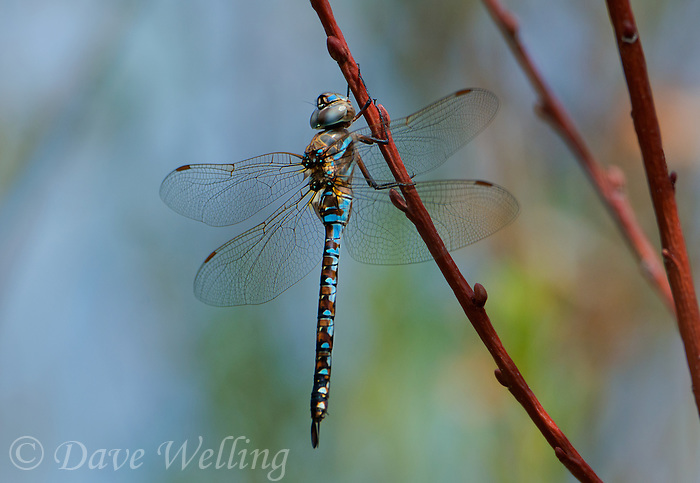 339300010 a wild male california darner rhionaeschna californica perches on a plant stem near an irrigation channel in inyo county california