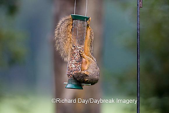 02013-008.01 Fox Squirrel (Sciurus niger) on peanut feeder, Marion Co.  IL