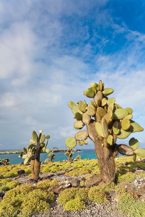 Prickly pear cactus, South Plaza Island, Galapagos Islands, Ecuador