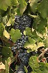 Israel, Shephelah, Israel, Shephelah, Grapes by Hulda forest