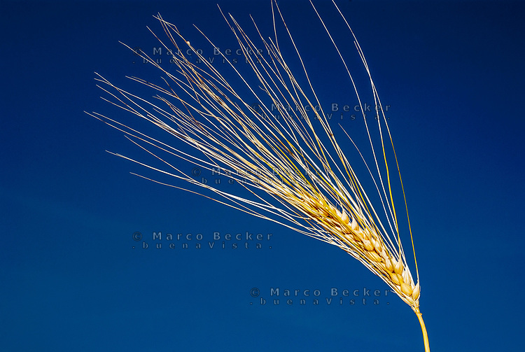 Spiga di grano giallo e cielo blu --- Yellow ear of grain and blue sky
