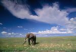 African elephant, Kenya